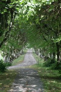 Der lange Weg - Eine Allee im Sommer
